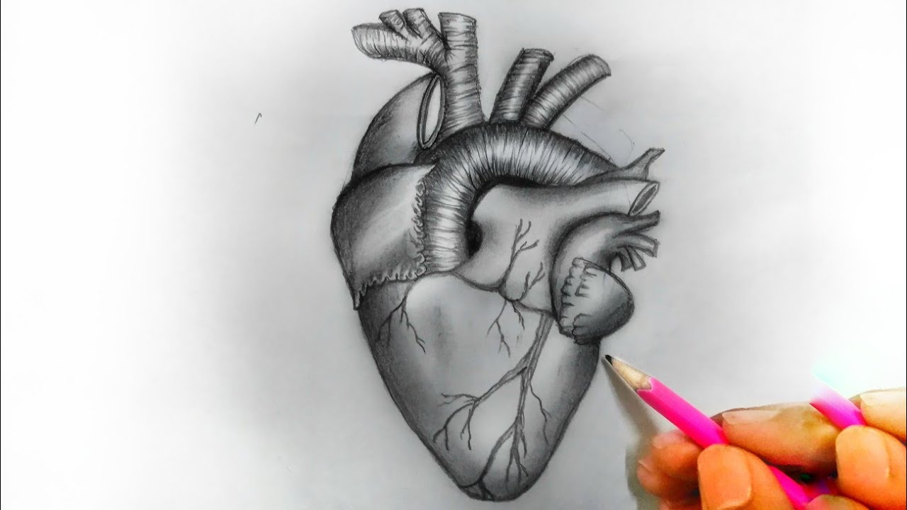 How to draw realistic heart diagram   easy like an expert ...