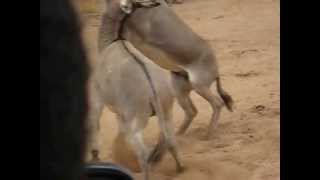 Repeat youtube video ET Tour Mar04-23,2013 1193, Donkey fighting