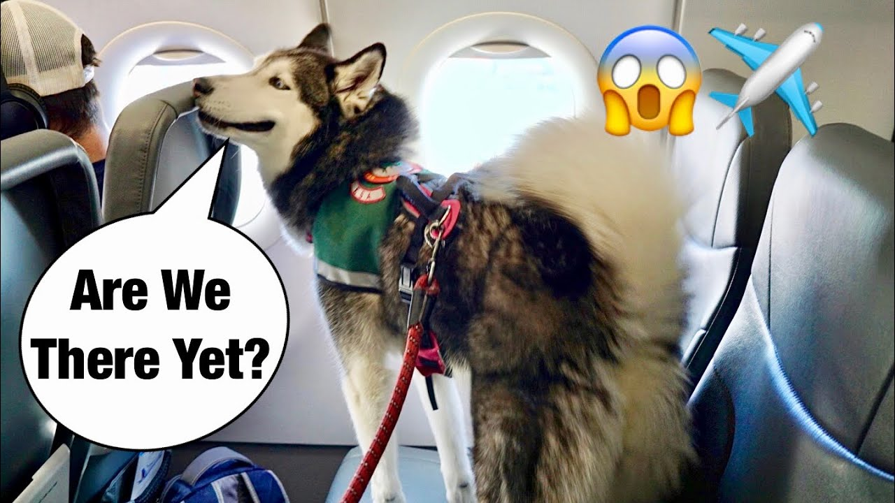 Taking Meeka The Husky On An Airplane!