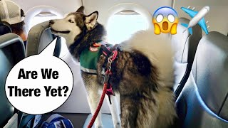 Taking Meeka The Husky On An Airplane!