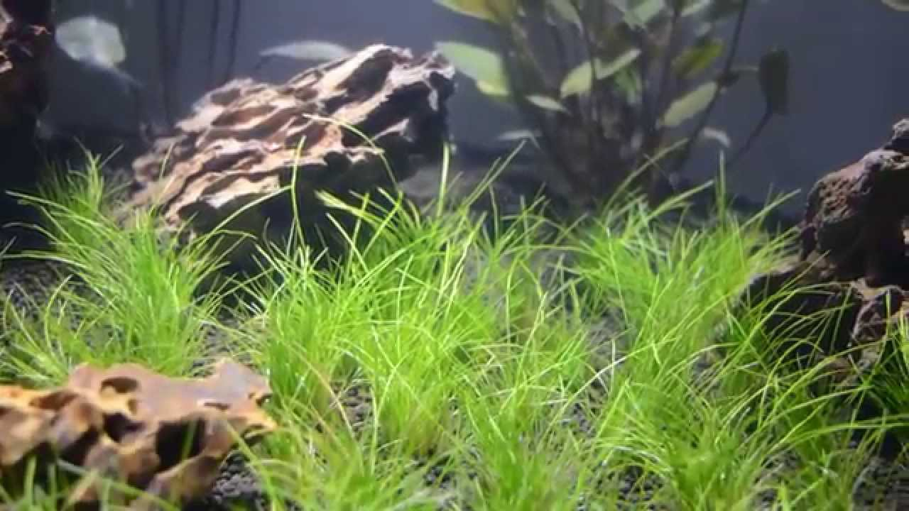 Planted Aquarium Plant dwarf hairgrass Eleocharis acicularis