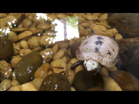 Baby Elongated Tortoise Swimming!