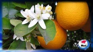 Como hacer agua de azahar - Propiedades de la flor de azahar o flor del naranjo