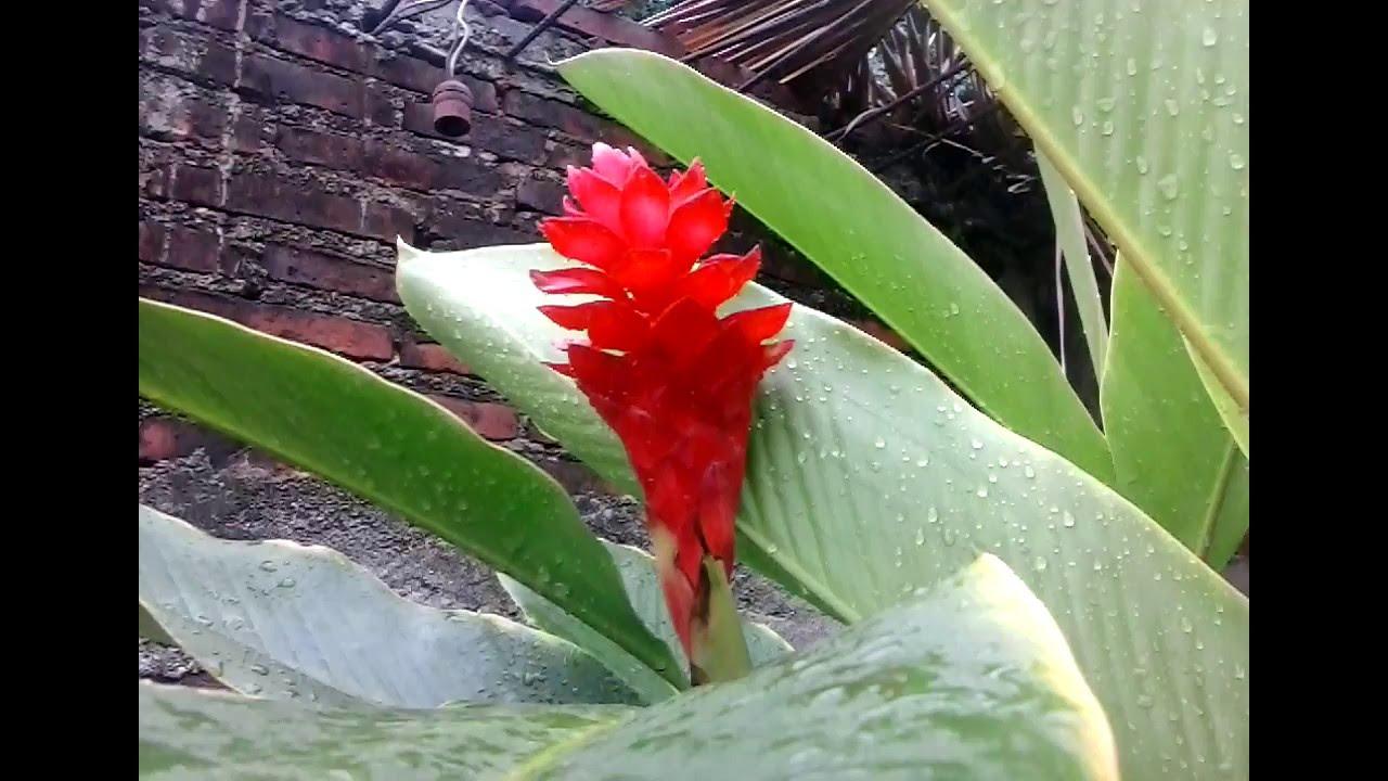 planta de flores rojas youtube