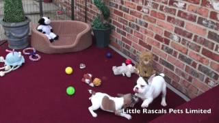 Little Rascals French Bulldog Puppies