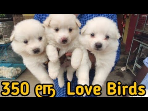 Bow &Fish Pet Shop In Love Birds For 350 Rupees In Good Price To Dogs In 1500 To Starting.