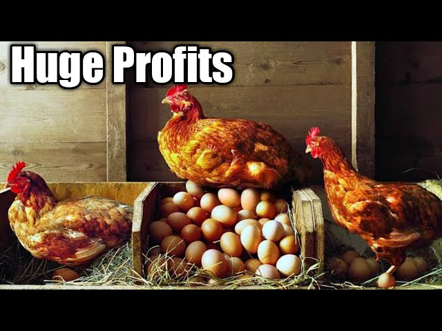 How To Maximize Profits in Chicken Farming
