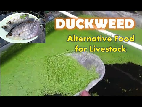 DUCKWEED AS ALTERNATIVE FOOD FOR LIVESTOCKS