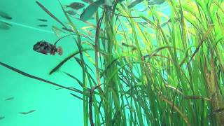 ハオコゼ Redfin velvetfish Paracentropogon rubripinnis Tokyo Sea Life Park   葛西臨海水族園