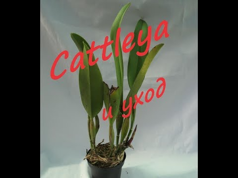 Cattleya и уход