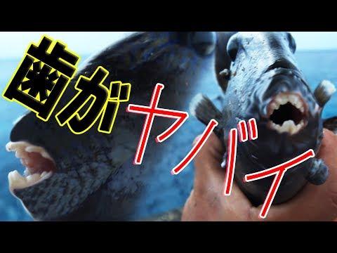 #3 人の指を食いちぎる恐怖の魚現る! 南大東島編