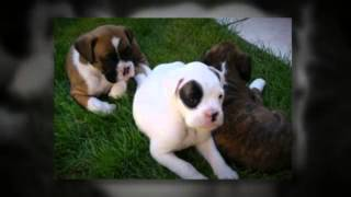 Training Tips For Boxer Puppies