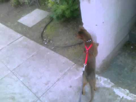 Abyssinian Cat On Leash