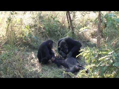 Chimp mother filmed cleaning dead body of son in first hint