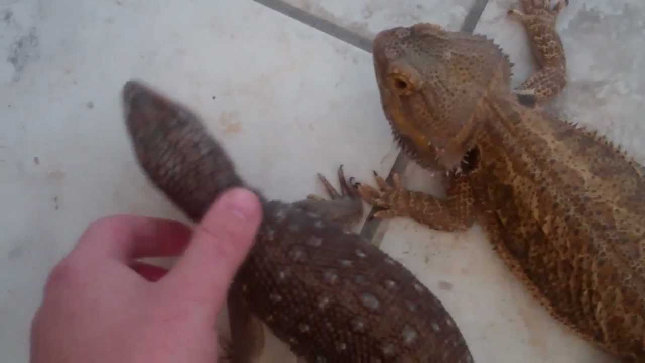 Savannah Monitor and Bearded Dragon Comparison (At the ... Full Grown Bearded Dragon Next To A Ruler