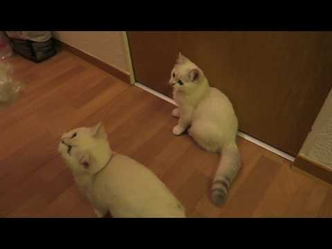 New British Shorthair Kitten Comes Home Funnycattv