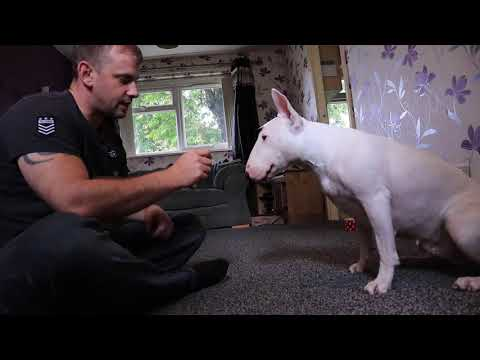 What is it like to live with a English Bull Terrier?