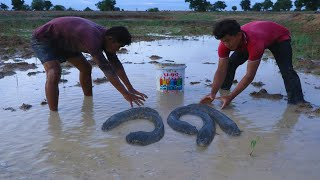 Finding Fishing After Rain In The Rice Field Amazing Two Men Catching Big Catfish In Mud Water