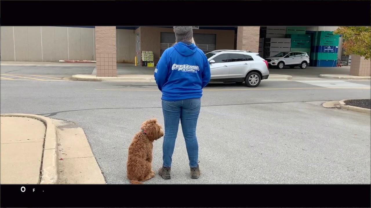 Best Dog Training Toledo, Ohio! 7 Month Old Mini Goldendoodle, Winston!