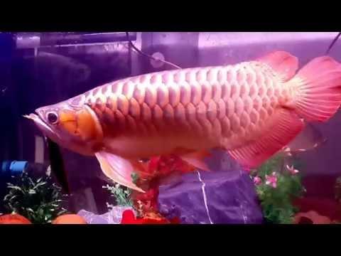 ปลามังกรแดงพาฝันกินกระทิงไฟ บังแระ1