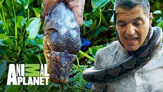 !Frank forcejea con una Piton Reticular! Wild Frank En busca del dragon Animal Planet