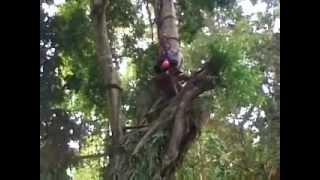 haikal the children 5 years old to climb a tree 80 meters at climbing flying fox ciung wanara