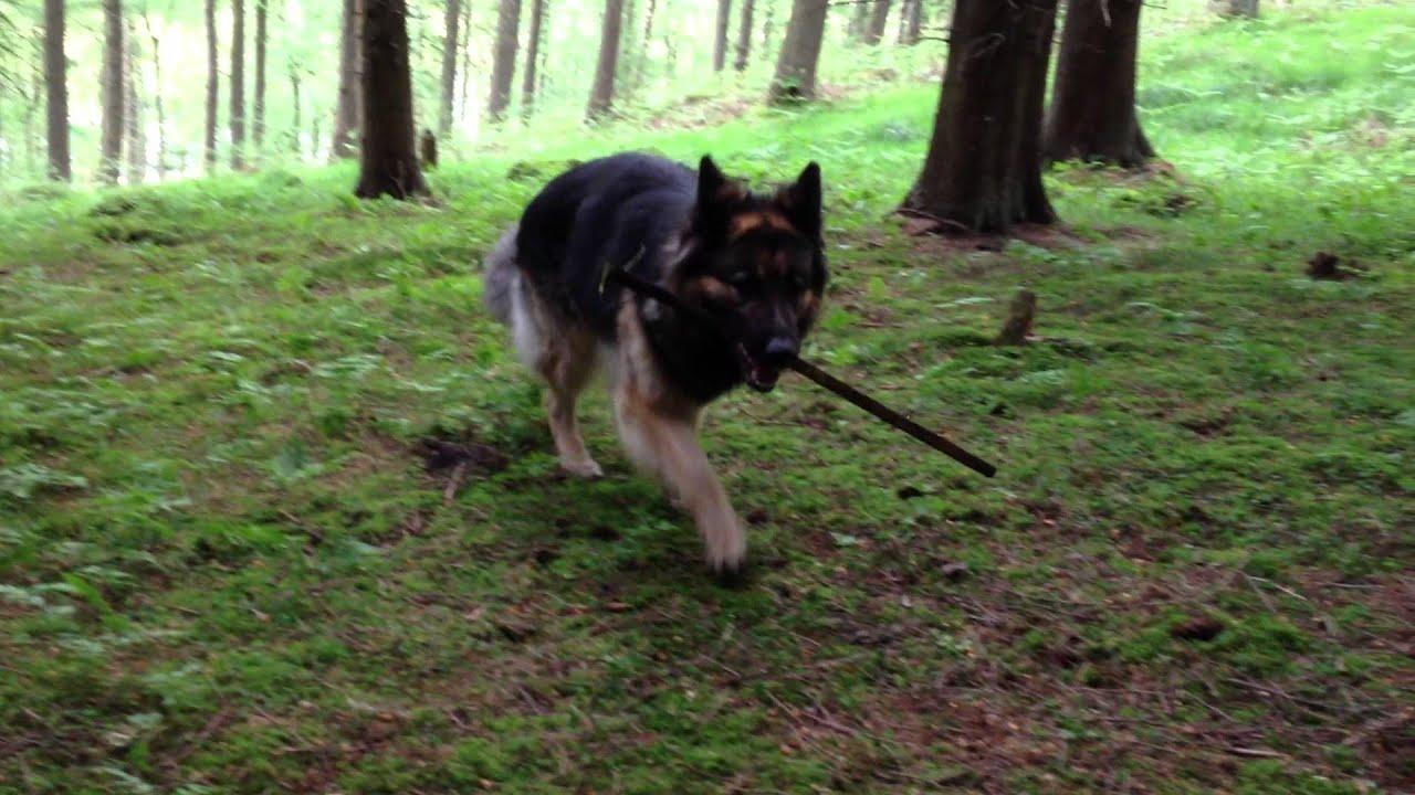 German Shepherd Like Dogs That Don
