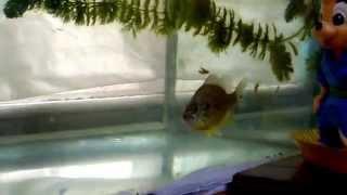 Солнечный окунь с Днепра живет в аквариуме часть 2