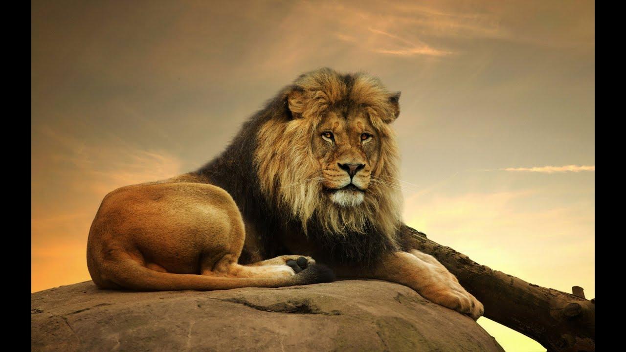Lion sitting - photo#5