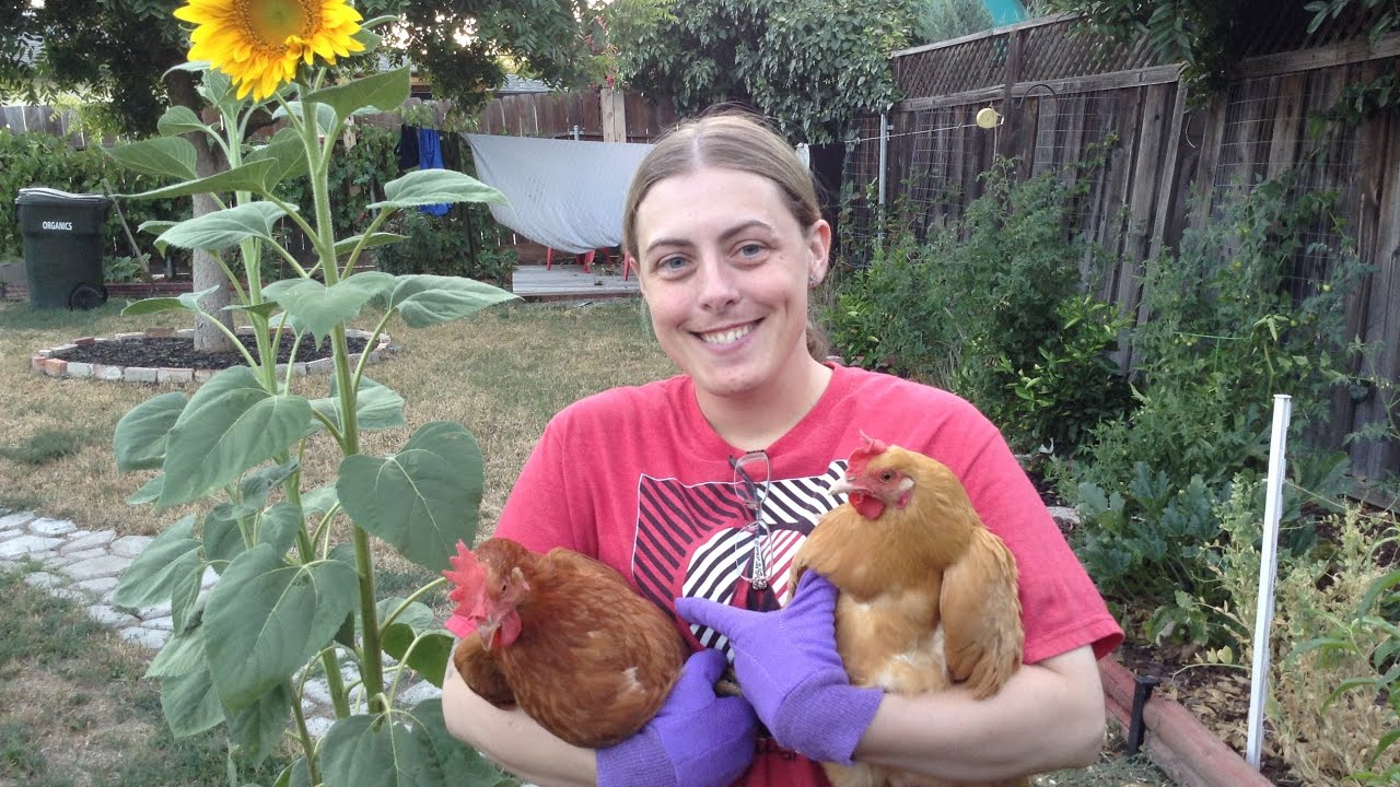 backyard-chickens-101