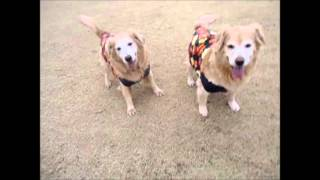 説明 KIRARA and AINA are enjoying retrieving together.