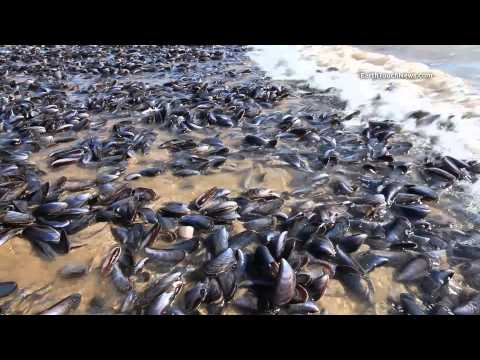 Mussel Mystery: Thousands Of Mussels Washed Up On South African Beach