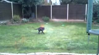 Diesel J Dog - Staffy X Rottie - Playing With Childrens Bucket In The Back Garden
