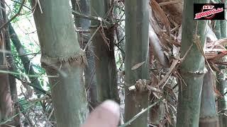 Babu petuk asli di tengah tengah krumunan bambu