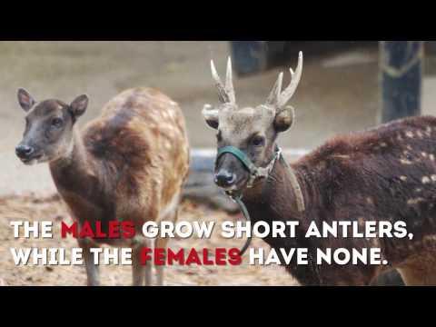 Visayan Spotted Deer Project
