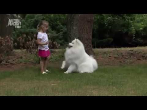 Порода собак- Самоед