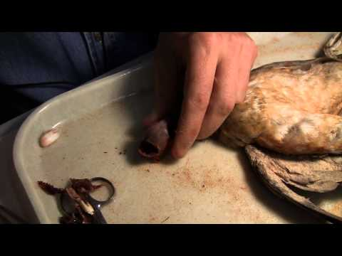 Bird Specimens 5: How to make bird study skins