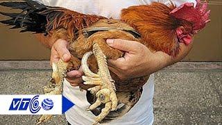 Đại gia lùng gà 9 cựa chục triệu cúng Tết   VTC