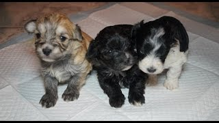 Maltepoo's For Sale (maltese/toy Poodle Puppies Pt.1) 3 Weeks