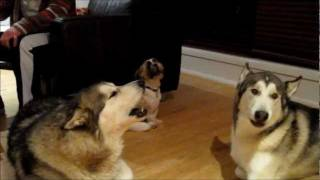 Shih Tzu Charlie holding his own with howling Malamutes Cara and Ma...