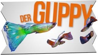 DER GUPPY - HALTUNG, TIPPS und MEHR! | GarnelenTv