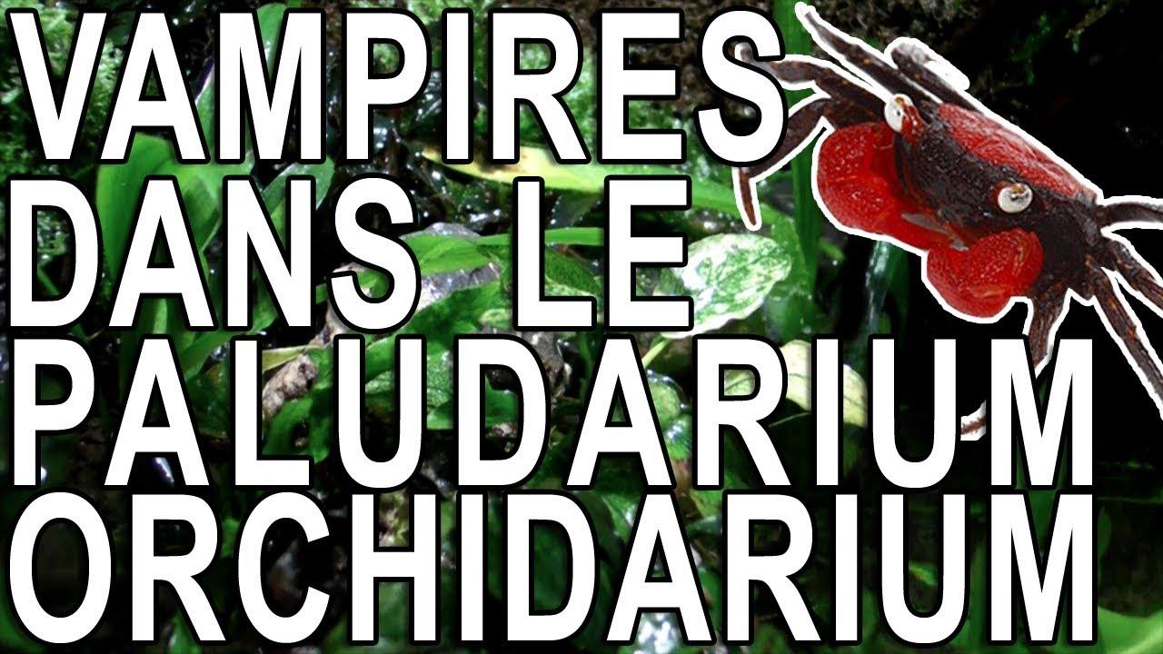Installation De Crabes Vampires Dans Le Paludarium Orchidarium