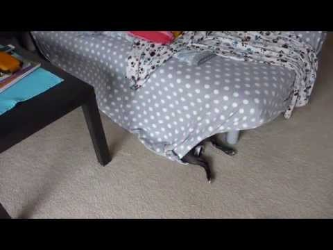 Funny Boston Terrier Hiding Spot  |  Boston Terribles