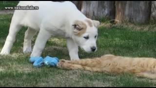 Улюблена іграшка! Алабайчик не хоче ділити іграшку з кішкою.