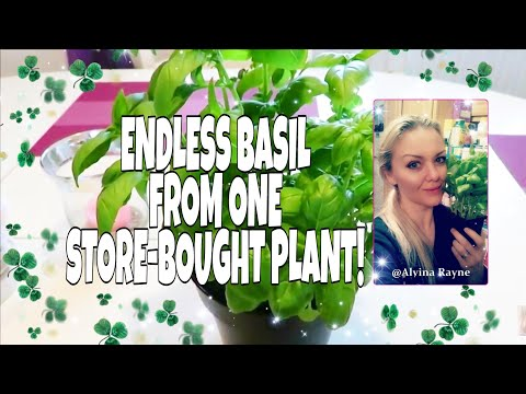 BASIL 🤑 ENDLESS😱 SUPPLY FROM ONE STORE-BOUGHT! 🌿How To Propagate Basil