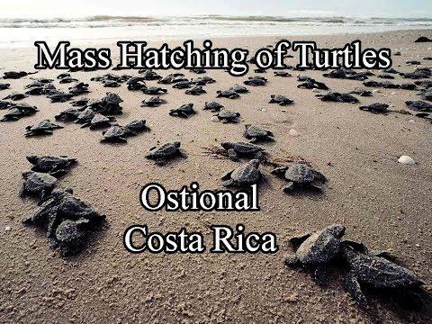 Mass Hatch Of Turtles   Ostional, Costa Rica