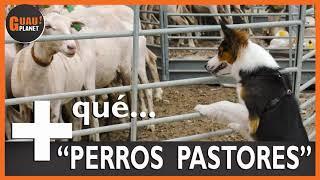 Cuatro de las mejores razas de perros pastores 'MÁS QUE PERROS PASTORES'