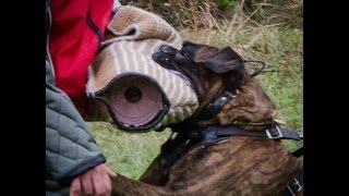 Boxer Dog, Police Dog, Schutzhund Boxer 'Sammy'  IPO 3 protection