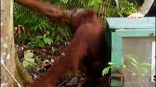New home for Mama Abut | Orangutan Diary | BBC