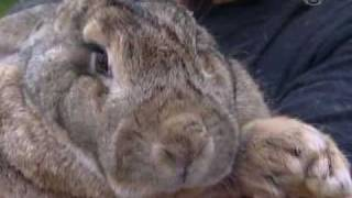 Гигантский кролик проедает бюджет своих хозяев (новости)